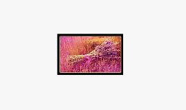The world in purple - Lavender