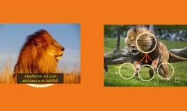 Copy of Adaptacion del leon africano a su habitat
