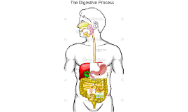 The Digestive Process