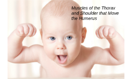 Muscles of the thorax and the shoulder that move the humerus