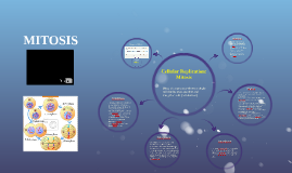 Cellular Replication: Mitosis