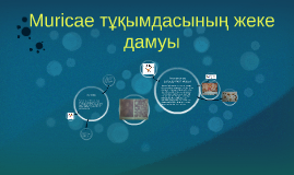 Copy of Muricae тұқымдасының жеке дамуы