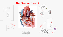 Copy of Copy of The Human Heart