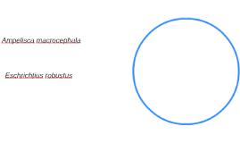 Ampelisca macrocephala