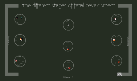 different stages of fetal development