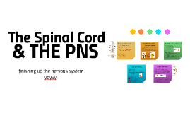 The Spinal Cord & The PNS