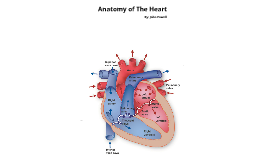 Copy of Anatomy of The Heart