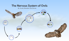 The Nervous System of Owls