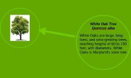 Copy of White Oak Tree