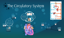 Copy of The Circulatory System