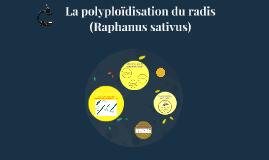 La polyploïdisation du radis