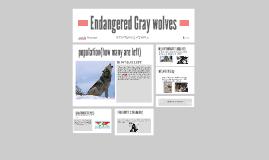 endangered gray wolves