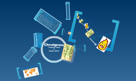 Invassive Species: Cheatgrass