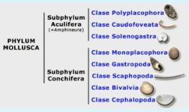 Clase Solenogastra