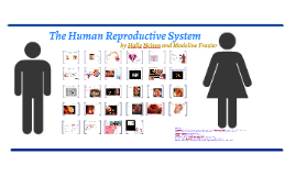 Copy of The Human Reproductive System