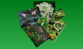 Copy of Invasive Plant Species