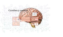 Cerebro y corteza