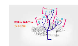 The Willow Oak