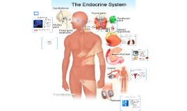 The Endocrine System of our Bodies