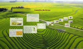Copy of Cosecha de Arroz