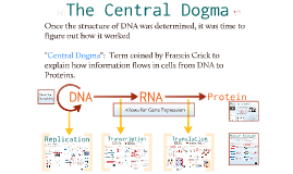 Molecular Genetics 2:  The Central Dogma