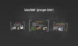 Waschbär (procyon lotor)
