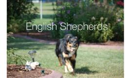 English Shepherds