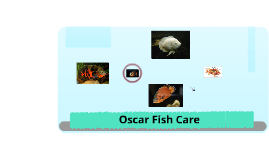 How to take care of Oscar Fish