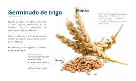 Germinado de trigo