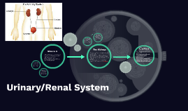 Uninary/Renal System