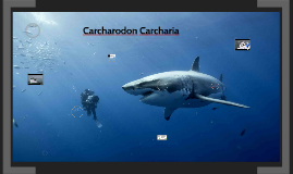 Carcharodon Carcharia
