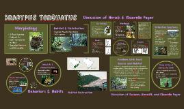 Bradypus Torquatus