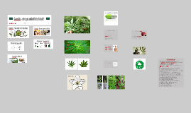 Cannabis - eine gesundheitliche Gefahr?