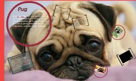 Copy of Pug