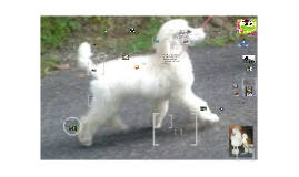 How to bathe a standard poodle in the privacy of your own home