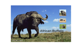 African/Asian Buffalo