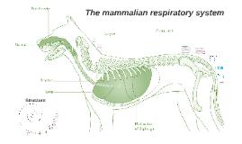 The mammalian respiratory system - I