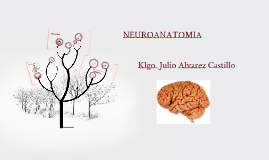 Copy of NEUROANATOMIA