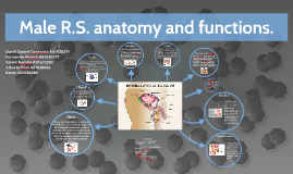 Male R.S. anatomy and functions.