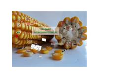 Copy of Aprendizagens com a avaliação participativa de cultivares de milho em Inácio Martins, Paraná, Brasil