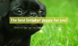 The best breed of puppy for you!
