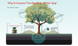 Copy of Why Do Evergreen Trees Stay Green All Year?