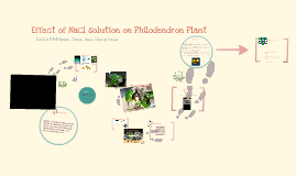 Copy of Effect of NaCl solution on Philodendron plant