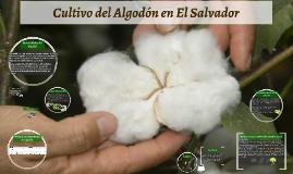 Copy of Cultivo del Algodón en El Salvador