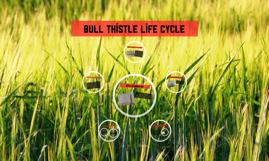 Bull thistle life cycle