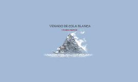 VENADO DE COLA BLANCA