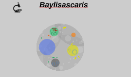 Baylisascaris