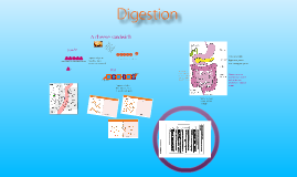 Digestion and Enzymes