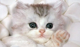 Kittens at Birth