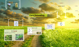 Corn Detassling